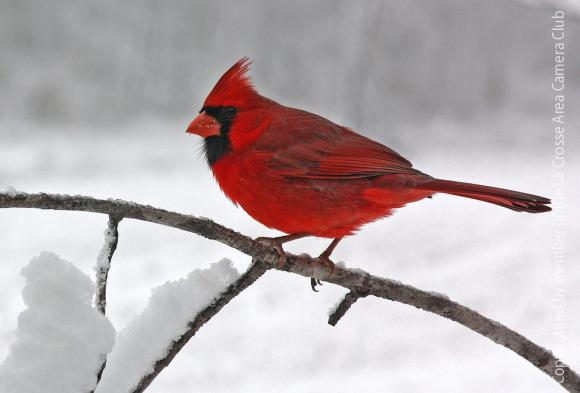 Cardinal in snow la crosse area camera club - Pictures of cardinals in snow ...