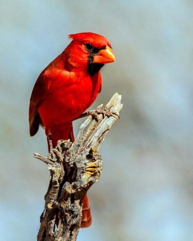 Maker: Mary Ann Roesler  -- 37 points  3rd PlaceJudge's comments: Nice background; good lighting; bird stands out well; bird could raise his crestMaker's comments: This cardinal looks a little angry like his breakfast wasn't ready when he wanted it.  Taken in Arizona