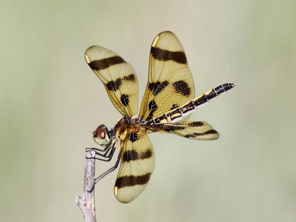 Maker: Dan Jackson Entered in: 2012 September Competition - B Nature Score: 41 points  1st PlaceJudge's comments: Good background blur and composition; diagonal a plus; could crop on right; tips of wings are little out of focus--hard to avoidMaker's comments: Female Halloween Pennant dragonfly