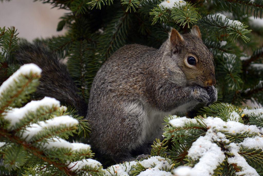 Maker: Brenda Bentzler  -- 29 points      Judge's comments: Very nice detail in the squirrel; snow on the pine is blown outMaker's comments: