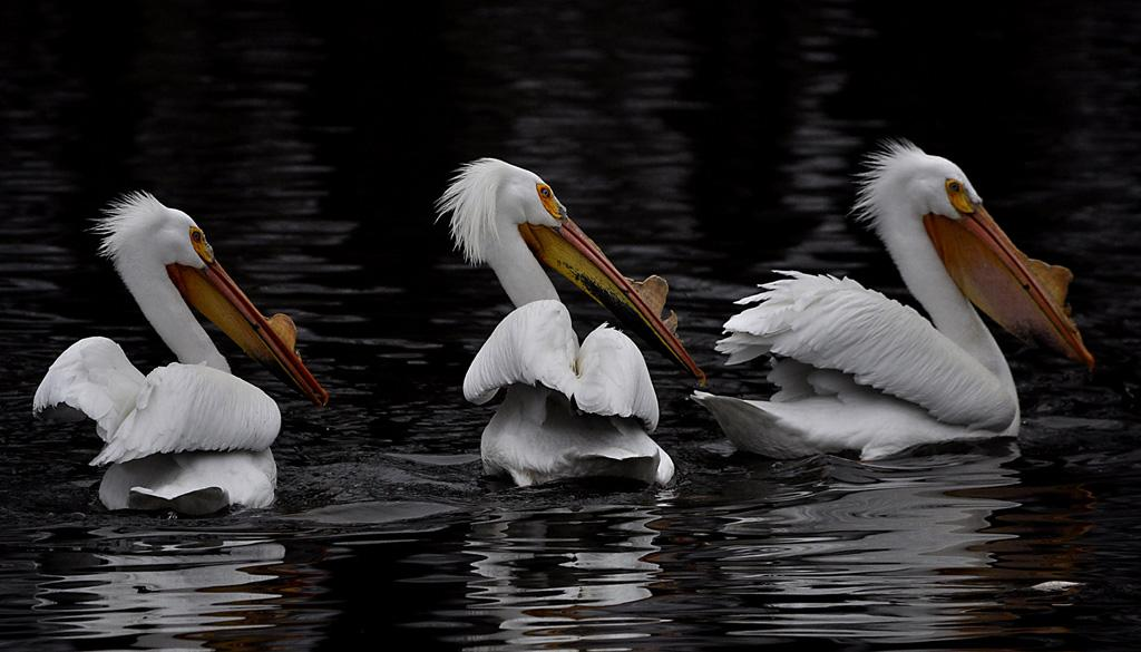 Maker: Jerry Weigel  -- 30 points      Judge's comments: Pelicans stand out from the dark water; nice details in feathers; good compositionMaker's comments: