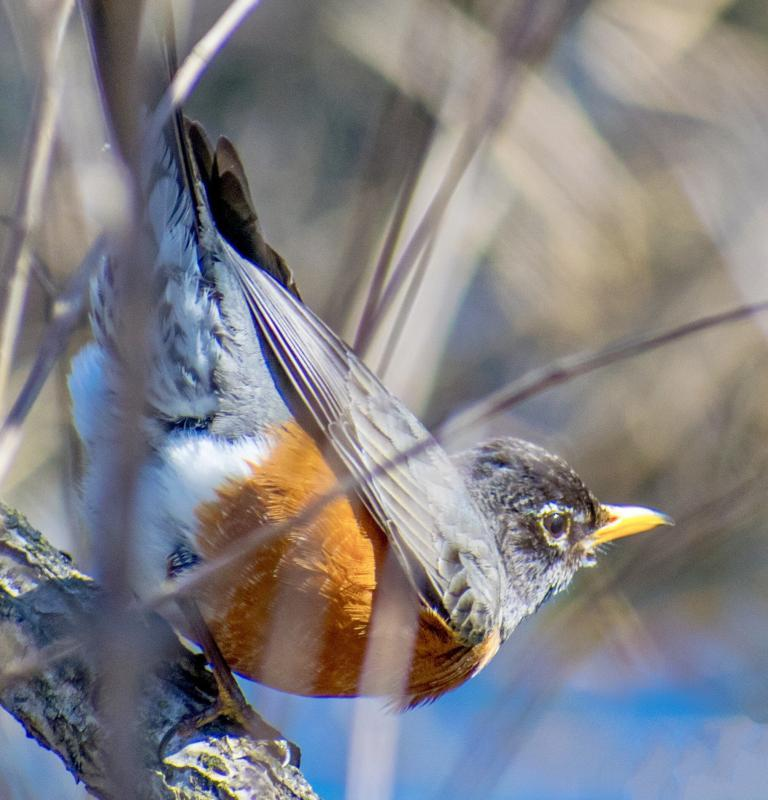 Maker: Phil S Addis  -- 20 points      Judge's comments: The robin's eye is sharp; could reduce the exposure; the branches in front of the robin are distractingMaker's comments: