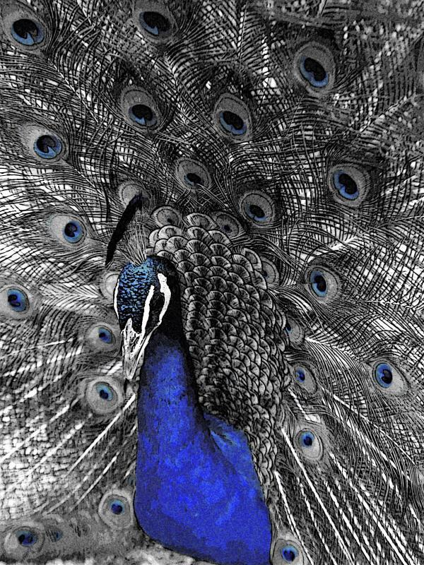 Maker: Cindy Hanson  -- 37 points  3rd PlaceJudge's comments:  Awesome detail in the peacock; interesting blue core mat sets off the imageMaker's comments: