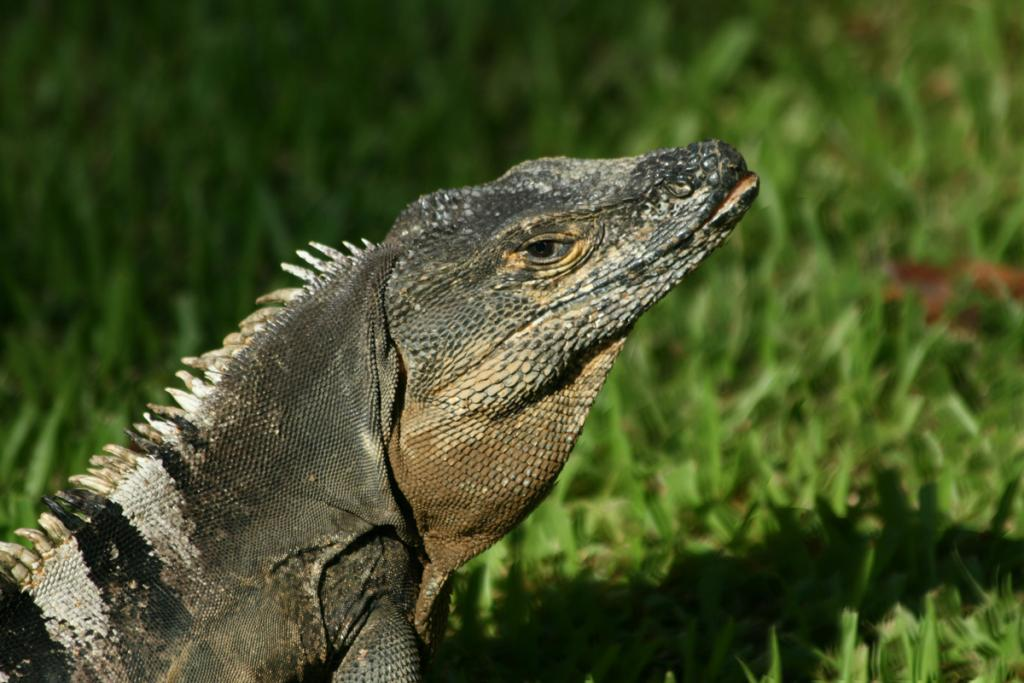 Maker: Sonja Haske  -- 29 points      Judge's comments: The iguana is sharp; like the open mouth; the shadow detracts a little from the iguana due to the bright sunlightMaker's comments: