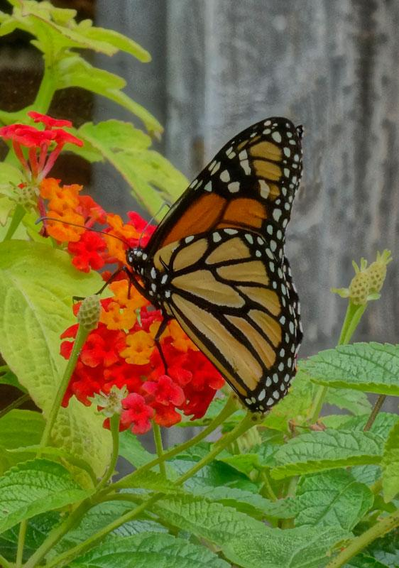 Maker: Phyllis Feiock  -- 30 points  Voted Acc.Judge's comments: Vibrant colors seem to overpower the monarch; a square crop that took out the buds on the right and some grenery at the  bottom might emphasize the butterflyMaker's comments: