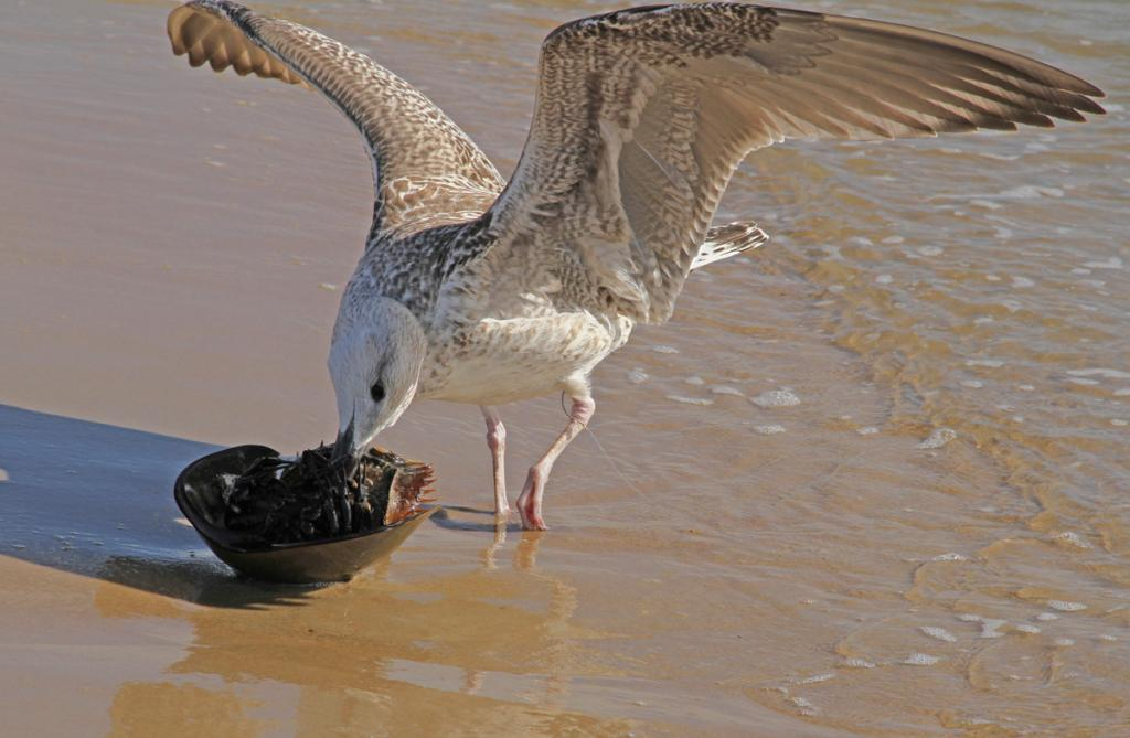 A - Open Maker: Sonja Haske  -- 31 points  Hon. MentionJudge's comments: Much detail in this image; wings are beautiful; cropped a little tight on the topMaker's comments: On the shores of Delaware Bay, I saw this Gull being uncharacteristically alone.  Shortly after it was feeding on this Horseshoe Crab.  (Delaware Bay has the world's largest population of Horseshoe Crabs).  It was then that I noticed that the Gull was severely handicapped by the hook from a fishing line.  A first-hand look at the impact of humans on our wildlife.  With my Canon 7D, the settings were:  f/10; 1/400 sec.; ISO 100; 120mm; Spot Metering and I was using the Shutter Priority Mode.