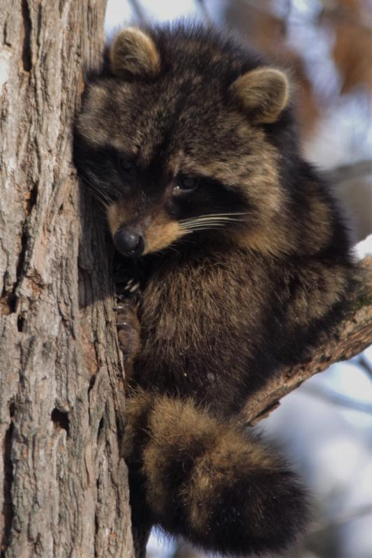 Maker: Cindy Hanson  -- 30 points      Judge's comments: Good close up; good depth of field; would like to see more light on the raccoon's right eyeMaker's comments: