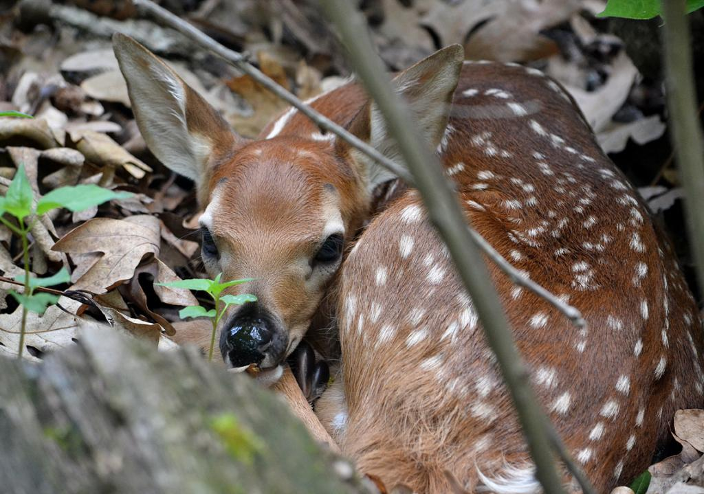 Maker: Karen Fischer  -- 32 points  2nd PlaceJudge's comments: Very sweet image; fawn is sharp; might crop on the left to eliminate some of the out of focus logMaker's comments: