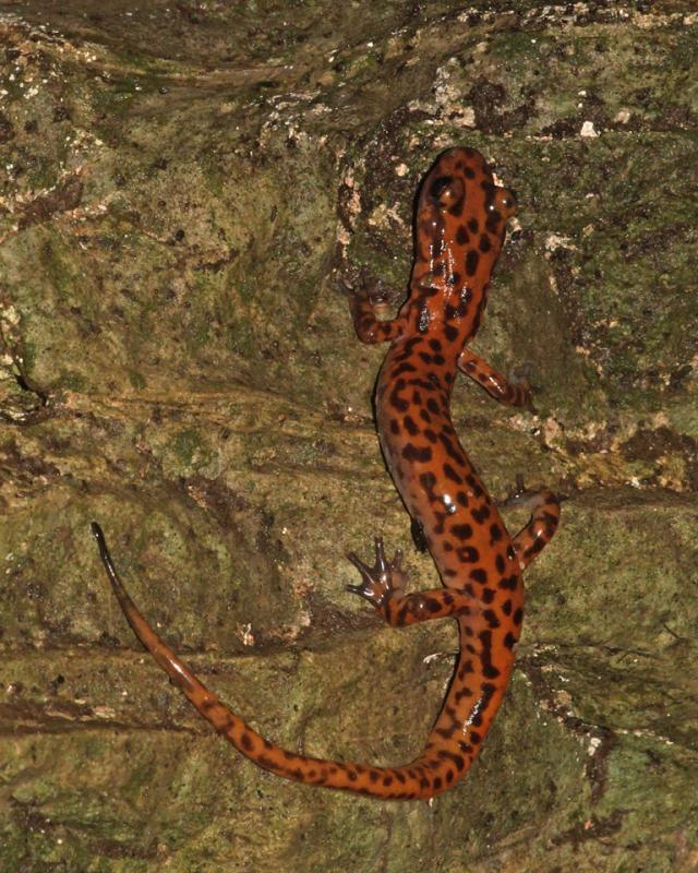 Maker: Al Sheldon  -- 28 points      Judge's comments: Good capture of the color and slime of the salamander; nice s-curve; image lacks popMaker's comments: