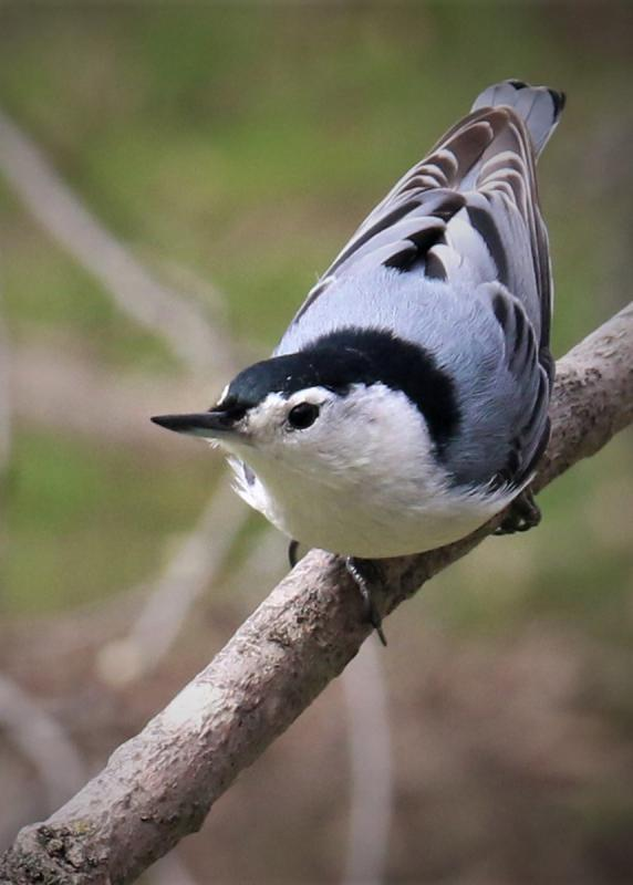 Maker: Doyle Gates  -- 35 points  2nd PlaceJudge's comments: Good composition; the diagonal branch leads in; bird is well-exposed; good bokeh; no catch light in the eye; the branch behind the head is distractingMaker's comments: