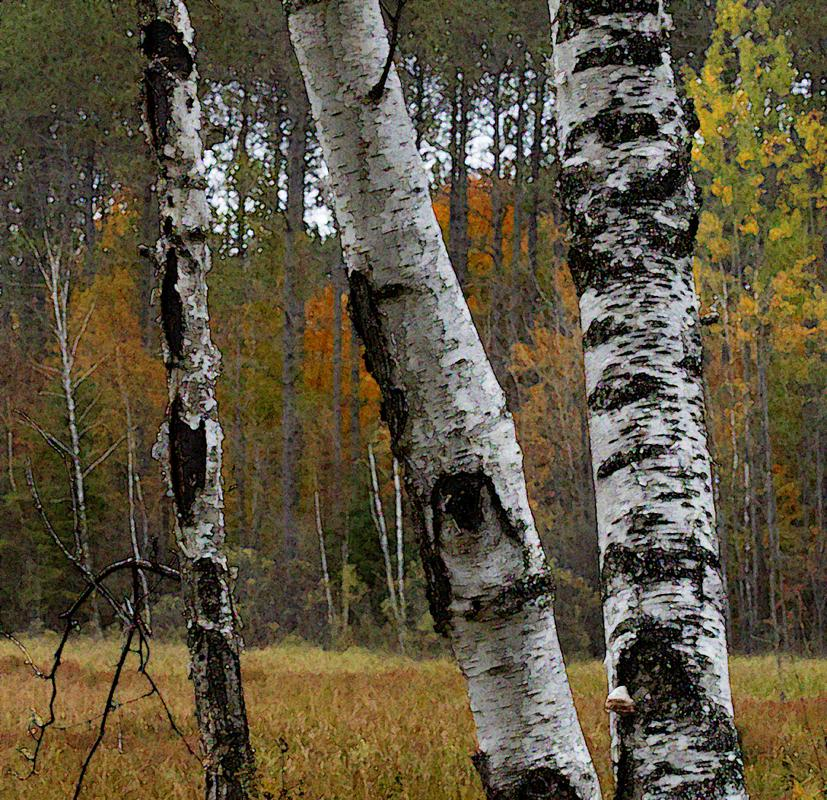 B - Creative Maker: Paula Clements  -- 29 points      Judge's comments: Beautiful shot of birches; lovely fall color in the background; difficult for judges to see the creative effectMaker's comments: