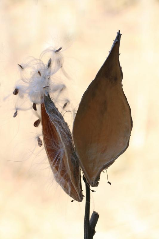 Maker: Brandon Wanke  -- 29 points      Judge's comments: Pretty picture; nice detail; background looks natural; milkweed could use more lightMaker's comments: