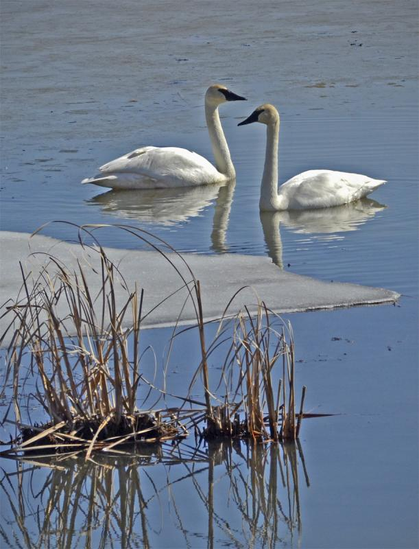 Maker: John Zoerb  -- 30 points      Judge's comments: Lovely swans; could crop up to the bottom of the weeds; swans don't appear as sharp as they could beMaker's comments:
